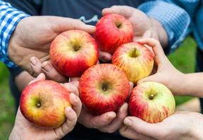 Gesunde Äpfel vom Zentschulzenhof in Reichelsheim