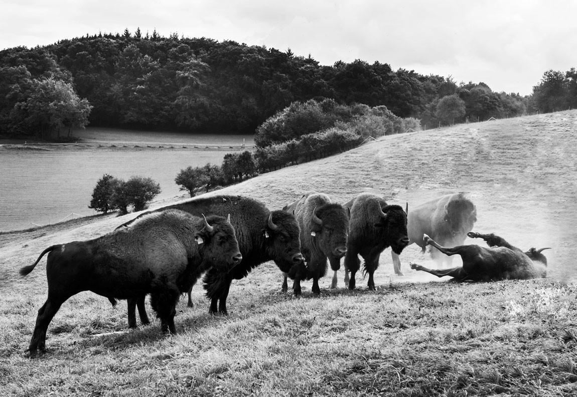 Lammershof - Bisons