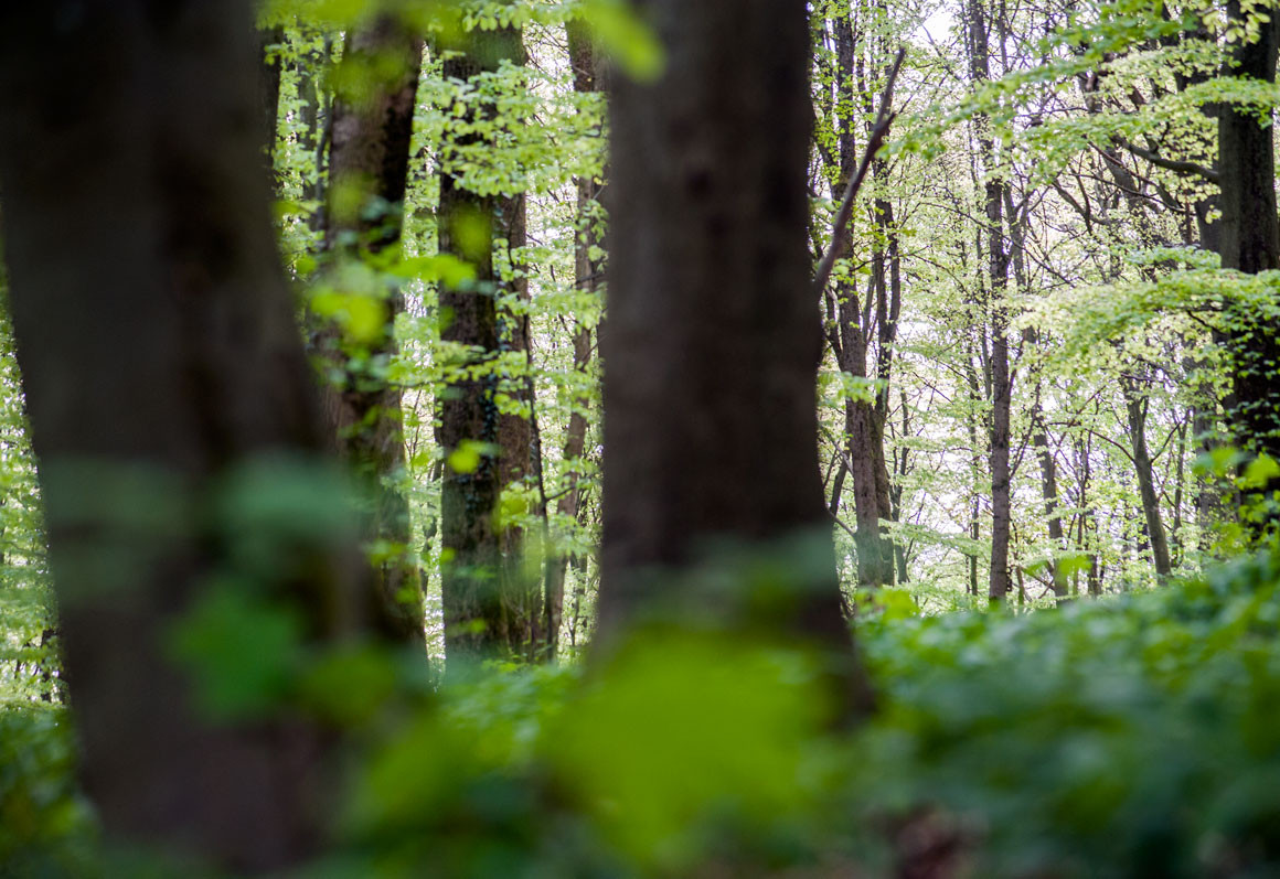 Der Wald erwacht im Frühling und leuchtet grün.