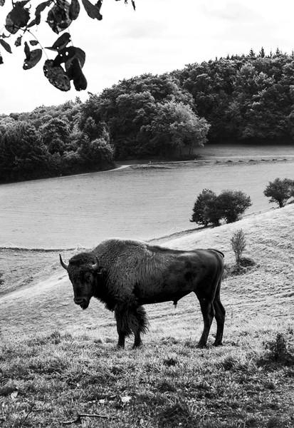 Lammershof Bison