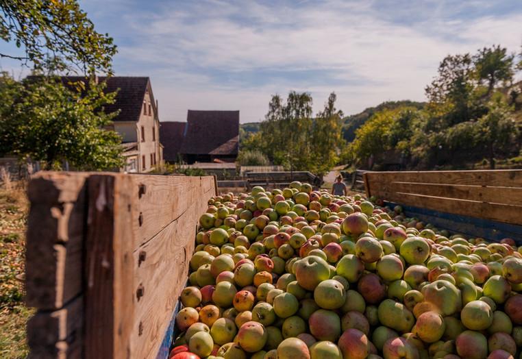 Apfelernte im Odenwald