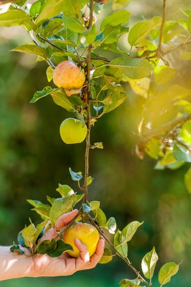Odenwälder Äpfel von Streuobstwiesen