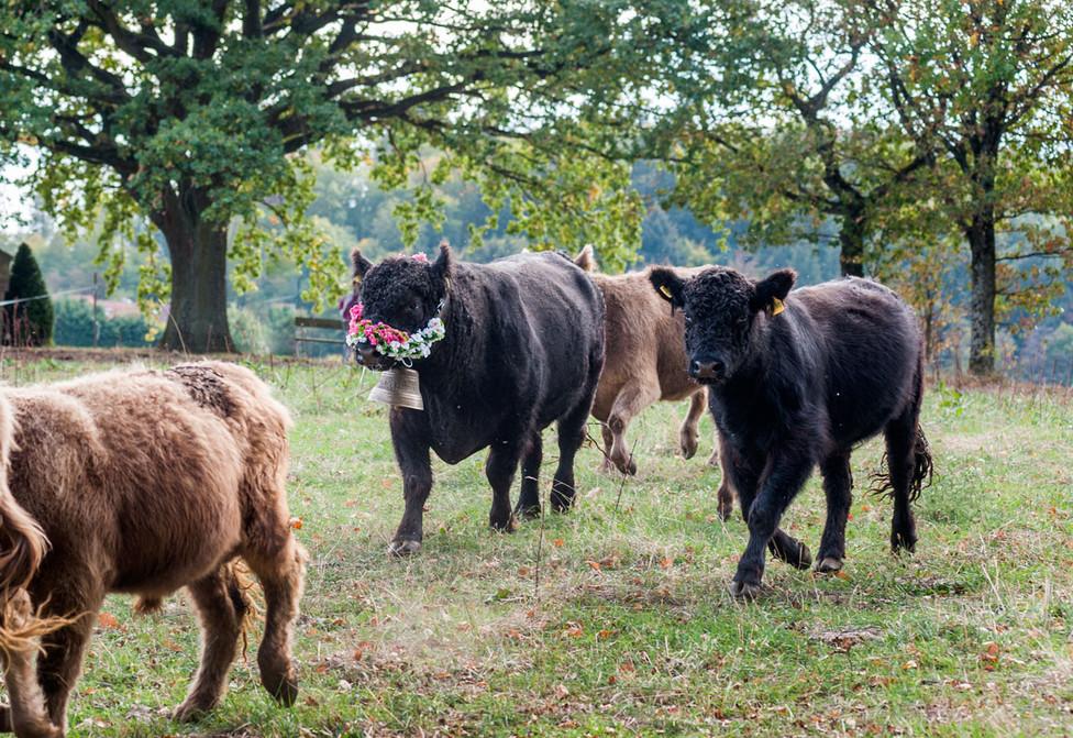 Viehabtrieb Galloway-Rinder im Odenwald