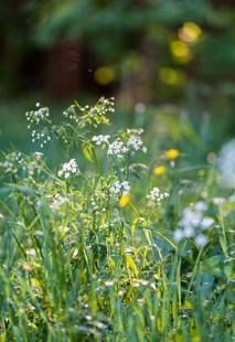 Wiesenblumen im Odenwald