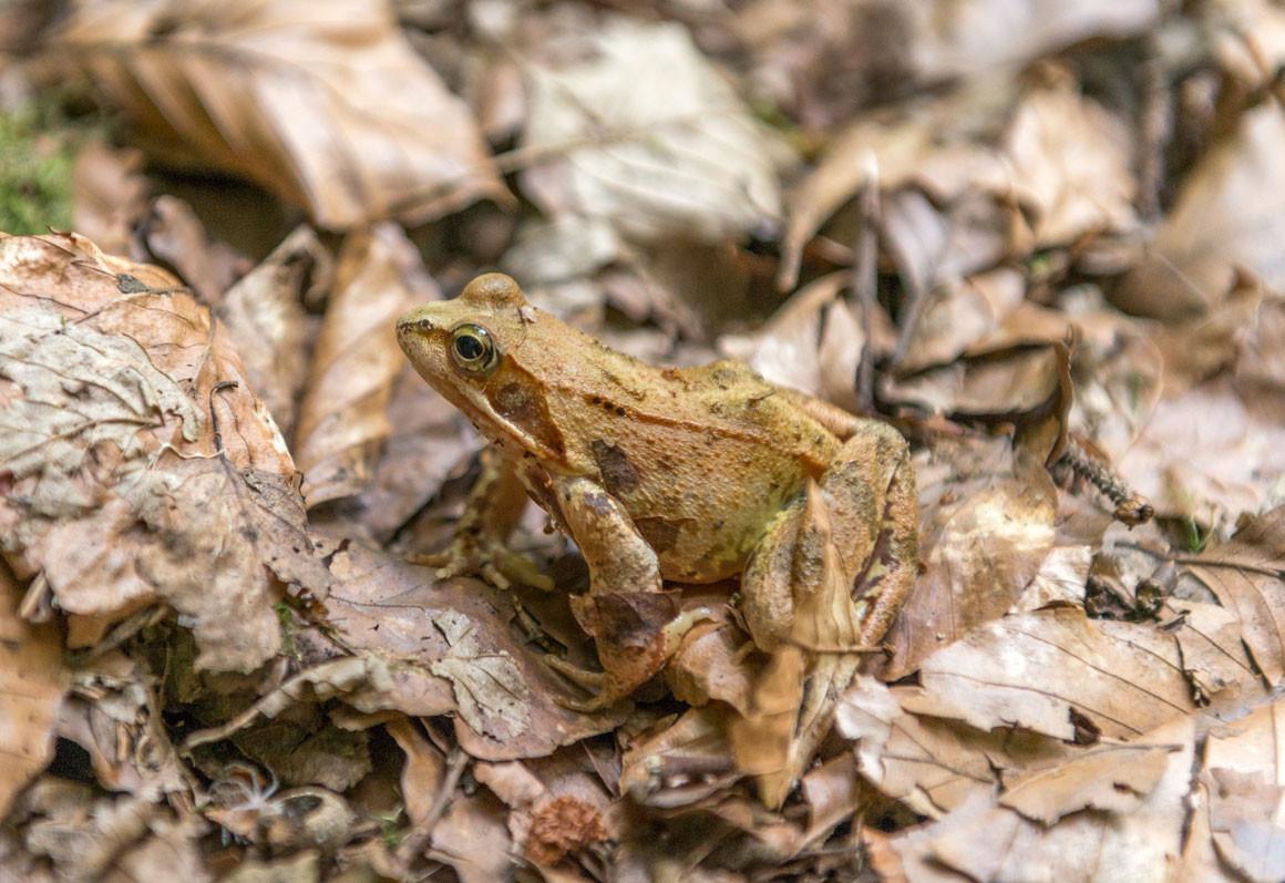 Ein Springfrosch im Dürr-Ellenbachtal