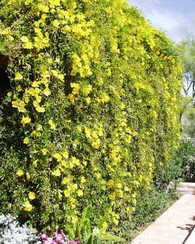 Yellow trumpet vine macfadyena unguis cati vigorously climbing vine clings to any surface bright yellow trumpet shaped flowers mightylinksfo