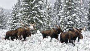 Moose Tracks - January 2020