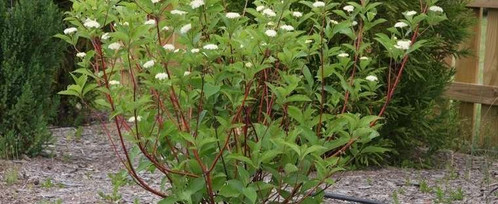 Dogwood bailey red twig gardening with altitude gardening center adaptable ornamental shrub with attractive fruit and red stems which add color to the winter landscape white flowers appear in late spring with oval mightylinksfo Images