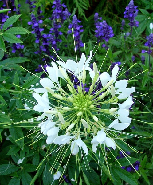 White queen spider flower gardening with altitude gardening center the best glistening white spider flower white queen illuminates moon gardens with large airy composite flowers we particularly adore white queen paired mightylinksfo