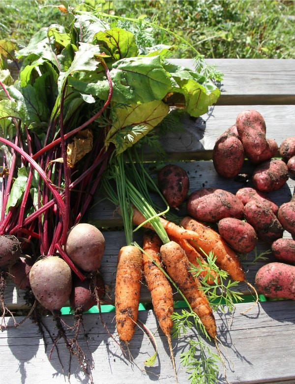 Tips for Harvesting and Storing Root Vegetables