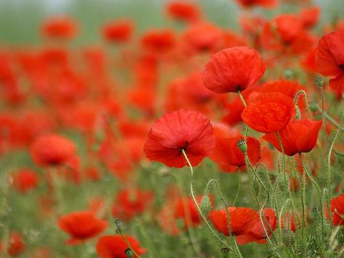 poppy-1173487_1280_modifié.jpg