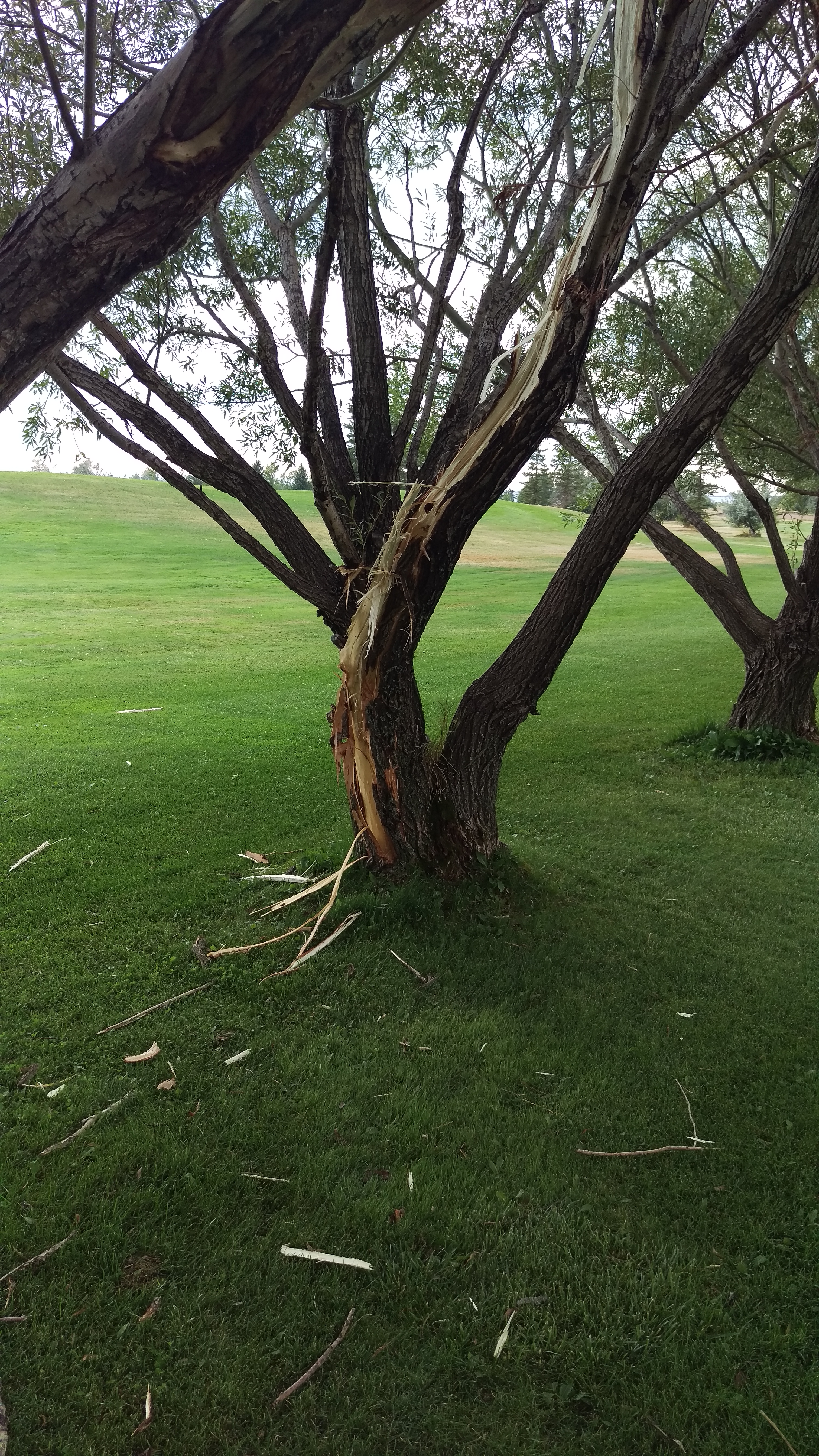 Tree at No.7 Tee Box Aug. 14 2017 Do not stand under trees in a lightning storm...