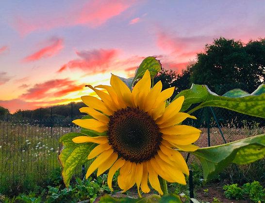 Postcard - Pink sky and sunflower