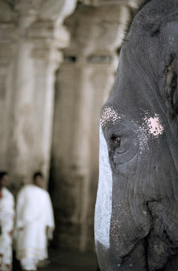 Temple Elephant, India