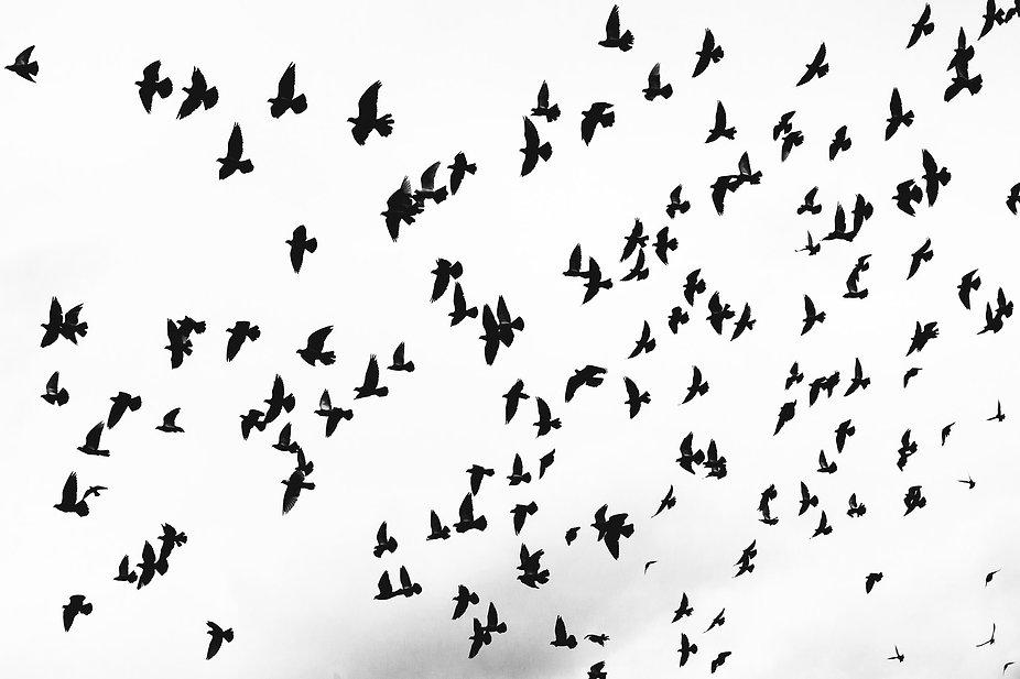 raven-flock.jpg