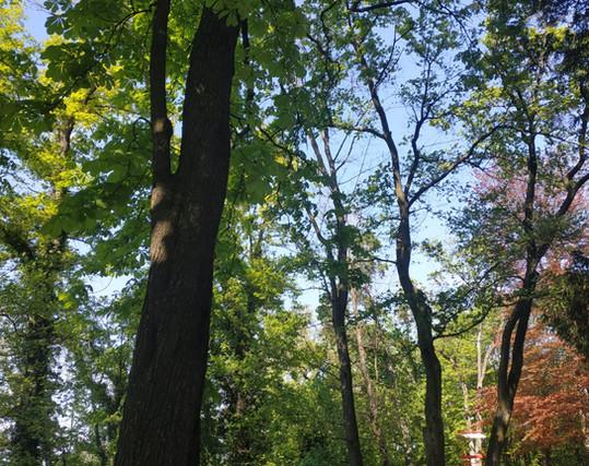 Tra gli alberi secolari