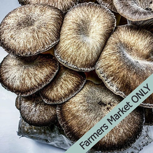 Fresh Black Pearl Oyster Mushroom (0.5 lbs)