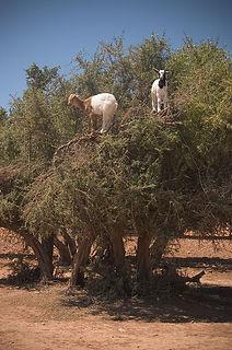 640px-Goats_on_a_tree,_capre_sull'_albero.jpg