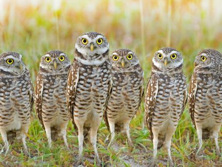 Marco Island's Beloved Burrowing Owl