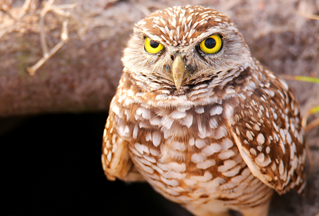 Burrowing Owls Thrive on Marco Island, Florida