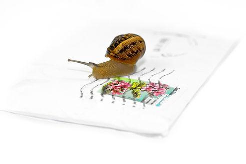 Helix Aspersa Muller spiecie, snail, common brown garden snail, fre-range Gaelic Escargot