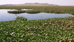 Limpiarán el lirio de la Laguna de Yuriria