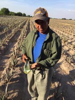 San Felipe se distingue como productor de sábila