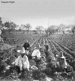 Historia de la Fresa en Irapuato