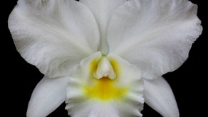 Come to Gainesville for the Kanapaha Botanical Gardens Orchid Show and Fall Plant Sale