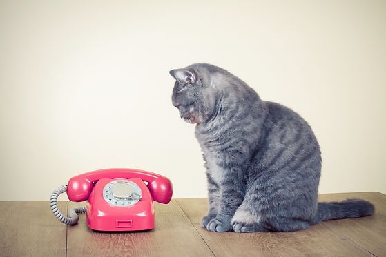 Retro rotary telephone and big cat on ta