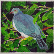 Native Wood Pigeon