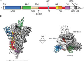 Cryo-EM structure of the 2019-nCoV spike in the prefusion conformation