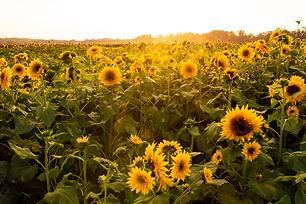 20190922_Sunflower Farm Sept-19_131.jpg
