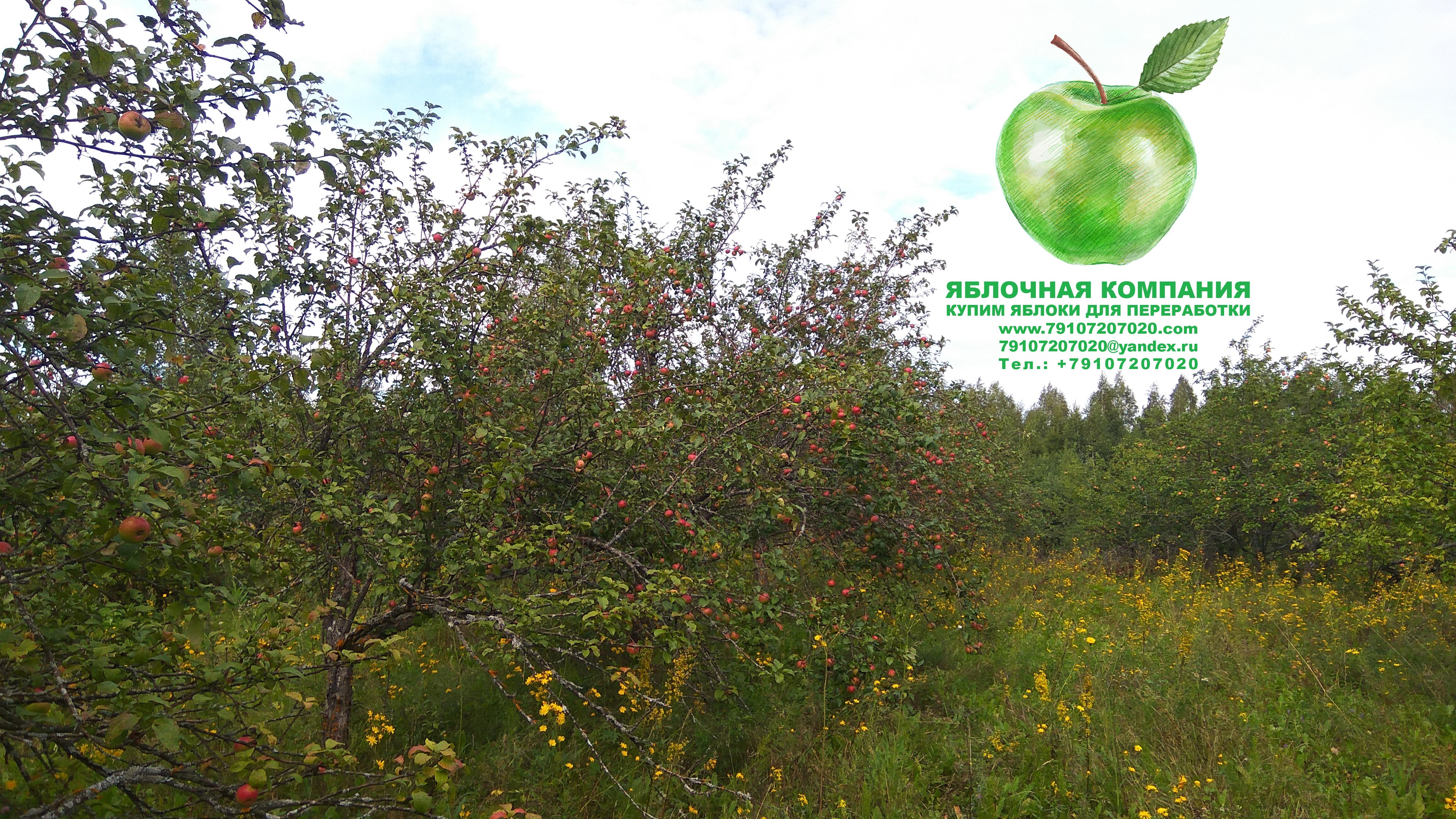 Яблочная Компания. Покупаем яблоки для промышленной переработки. www.79107207020.com, +79107207020,