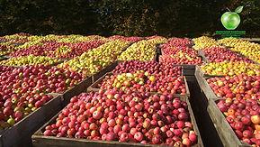 Яблочная Компания. Покупаем яблоки для промышленной переработки. www.79107207020.com, +79107207020, 79107207020@yandex.ru. Яблоки для переработки, яблоки опад, яблоки некондиция, яблоки после переборки, ГОСТ 27572-87, яблоки несортовые, яблоки 3 сорт.