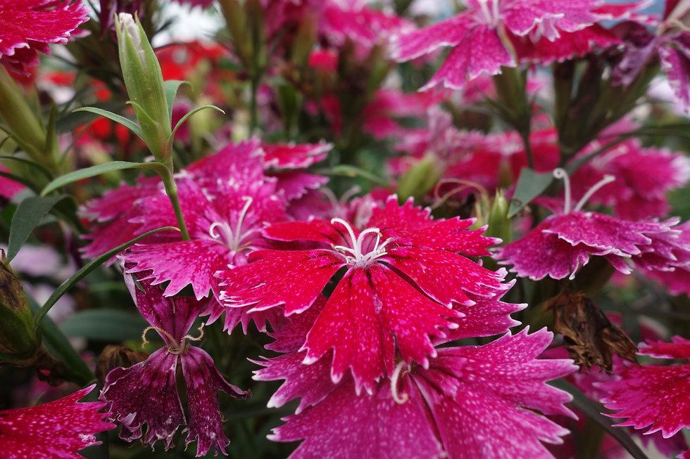 Flower_magenta.jpg
