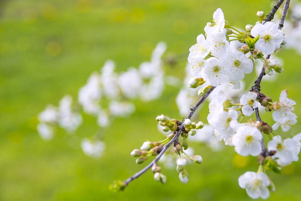 marvelous-flowering-cherry-1366109_1920.