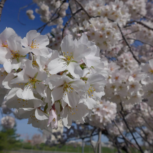 Cherry Blossoms_close.jpg