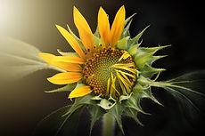 sunflower-3113318_1920.jpg