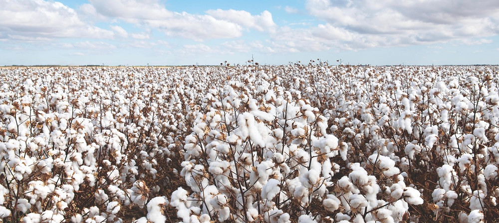 Cotton bud feilds