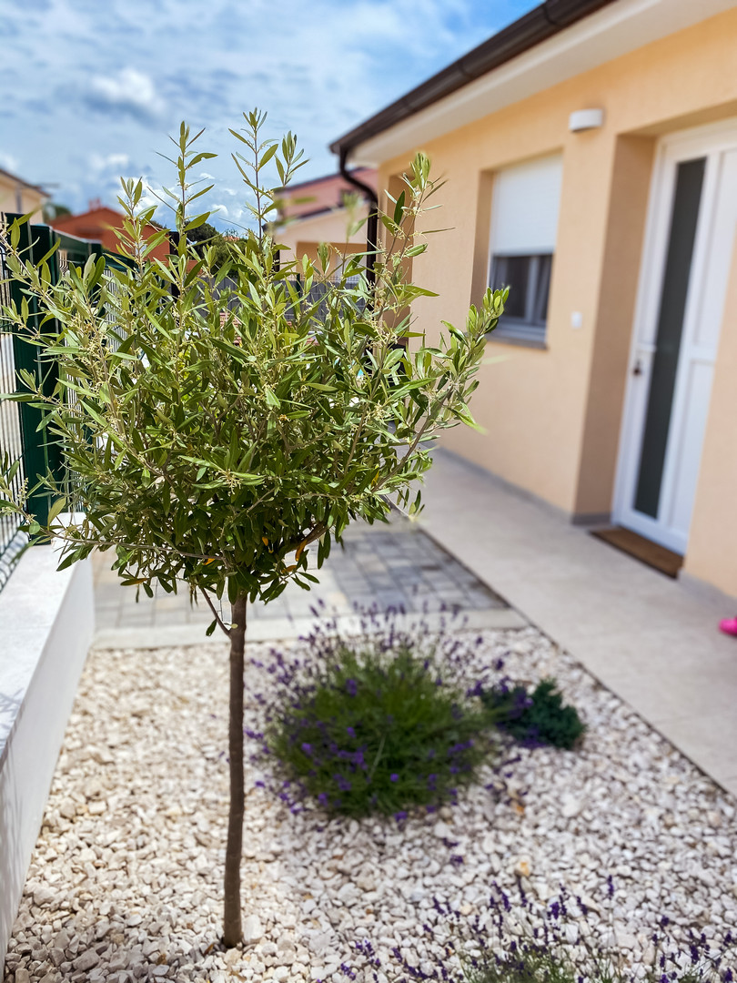 Garden with olive trees...