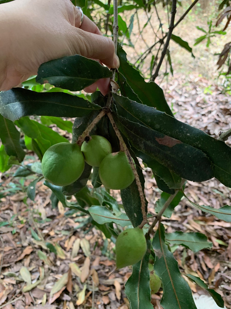 Chew Green Macadamia
