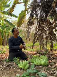 Chew Green Banana Growers