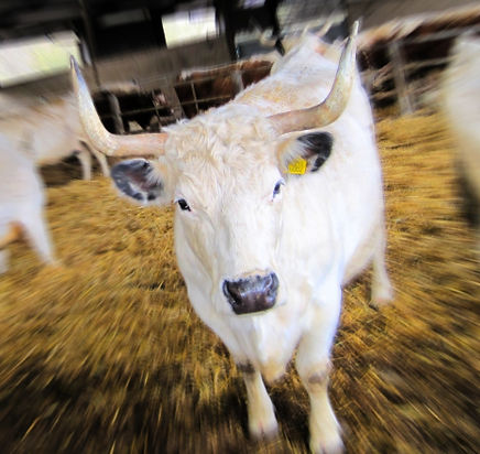 Proposed Australian Animal Welfare Standards and Guidelines for Livestock at Saleyards and Depots
