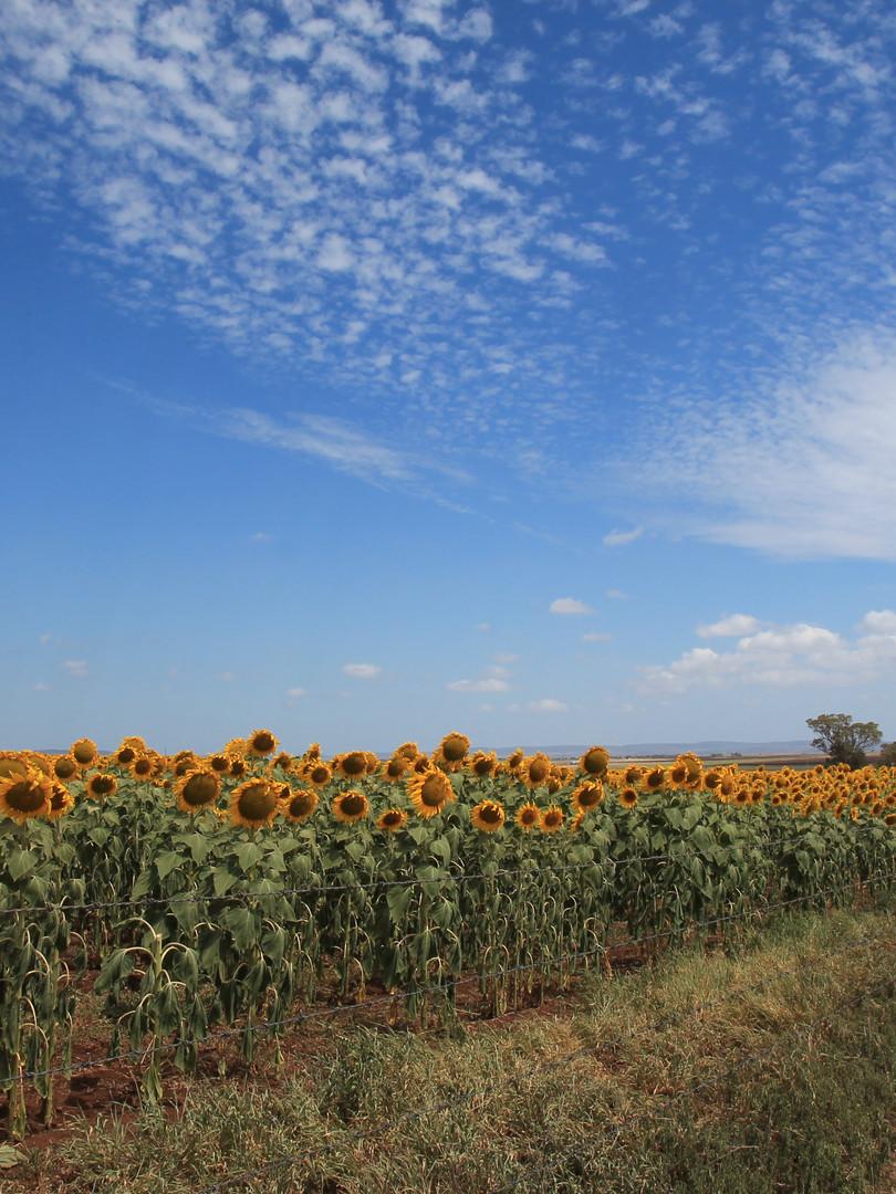 Allora Sunflower Stroll