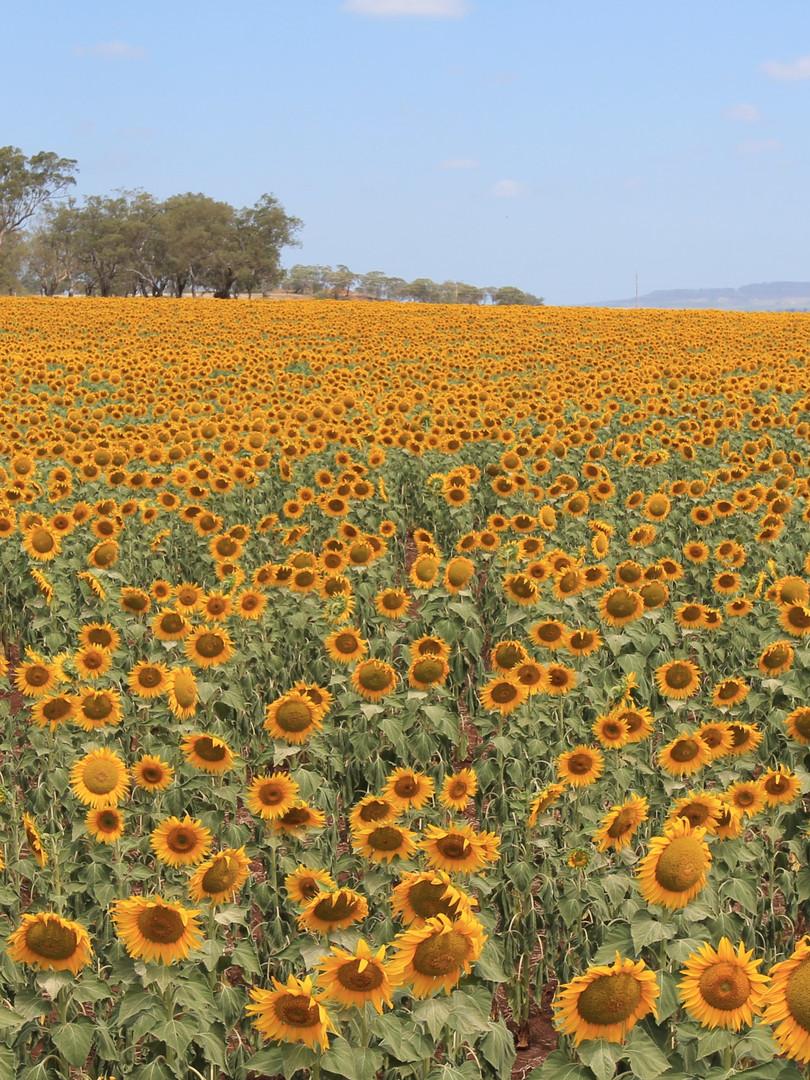 Sunflower Feild Allora