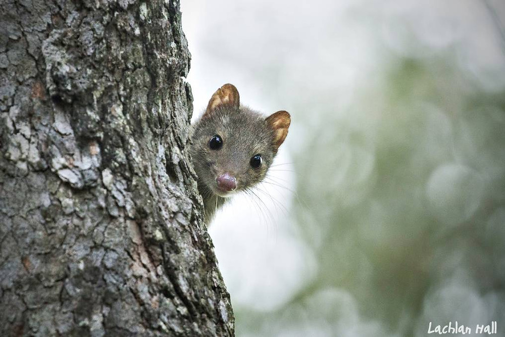 Quoll looking out from behind a tree