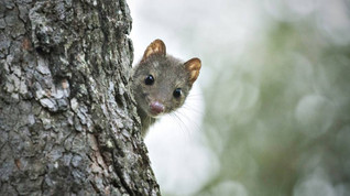 Quolls abound on the Barren Grounds - And on Ben Ricketts!