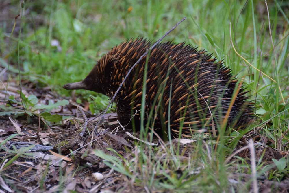 This echidna was spotted at our gate earlier this year.