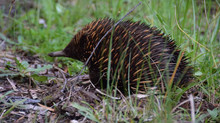 Echidnas everywhere